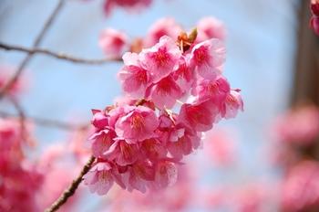 120303Mobara Cherry-1.jpg