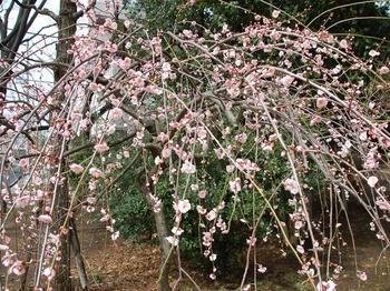 120311羽根木公園 (10)藤牡丹_S.JPG