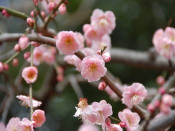 120311羽根木公園 (8)藤牡丹_S.JPG