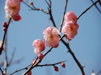 120320小石川植物園 (11).JPG