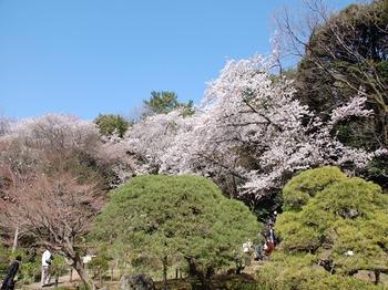 120408新江戸川公園桜 (4)_R.JPG
