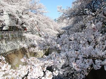 120408江戸川公園桜 (49)_R.JPG