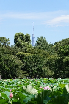 120813上野動物園ハス (32)_R.JPG