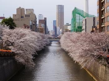 130323目黒川桜 (1-2)_R.jpg