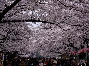 130324上野公園桜 (18-2)_R.jpg