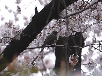 130324上野公園桜 (40-2)_R.jpg