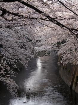 130324神田川桜 (127)_R.JPG
