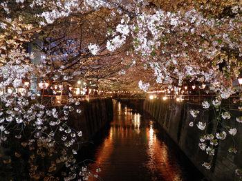 目黒川夜桜.jpg